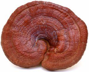 Large Duanwood Reishi 300x241 - Reishi Mushroom - Ganoderma lucidum