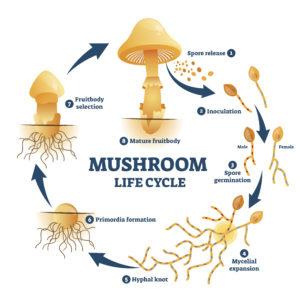 shutterstock 1640808409 300x300 - Reishi Mushroom - Ganoderma lucidum